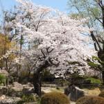 高島城桜2 205