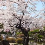 高島城桜2 129