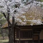 聖光時桜 (66)