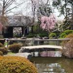 高島城桜2 120