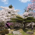 高島城桜2 200