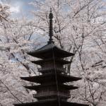 聖光時桜 (97)