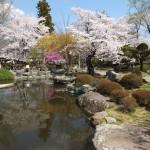 高島城桜2 204