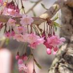 高島城桜2 196