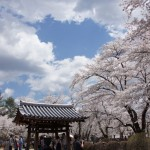 聖光時桜 (86)
