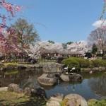 高島城桜2 185