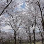 聖光時桜 (127)