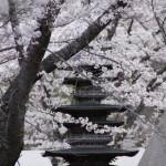 聖光時桜 (23)