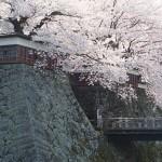 高島城桜2 230