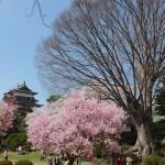 高島城桜2 143